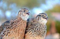 pic of 2 quail